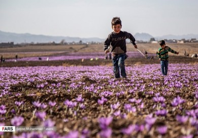 Harvest of Saffron Crocus Begins in Iran
