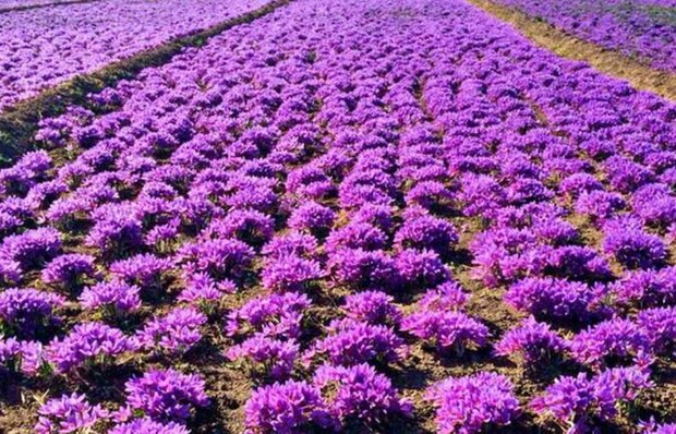 Saffron Output to Exceed 400 Tons in Iran