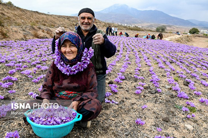 Iranian Farmers Start Harvesting Saffron