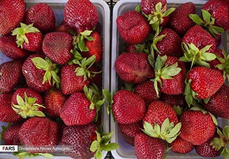 Strawberry Harvest in Mazandaran Province