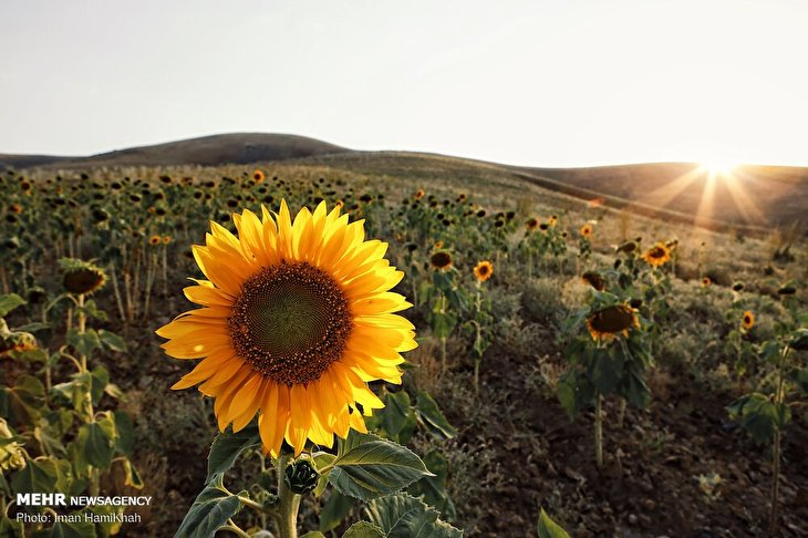 Sunflower field in Hamedan prov.