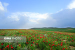 Iran's Beauties in Photos: Poppy Flower Plains